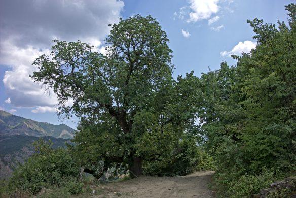 mulberry_tree_near_gostivisht_3