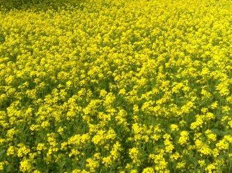 mustard_plant_bangladesh