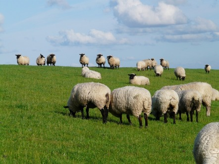 Meadow Flock Of Sheep Sheep Rhön Sheep Grass Dike