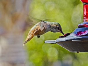 hummingbird-feeding