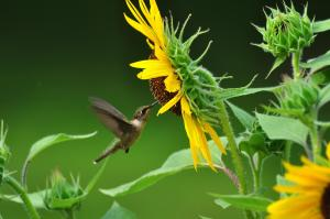 Hummingbird-sunflower-Archilochus_colubris_-_by_jeffreyw_-_002