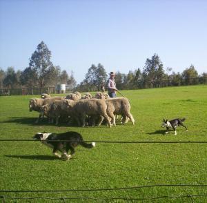 sheep-dog-show